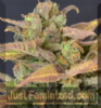 CBD Auto Critical Feminised 3 Ganja Seeds